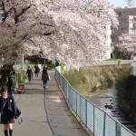 柿生駅までの桜並木
